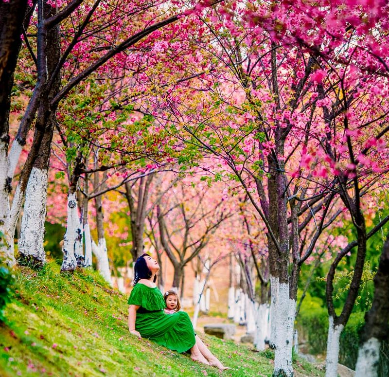 Cherry blossoms on a hillside at Dali University.