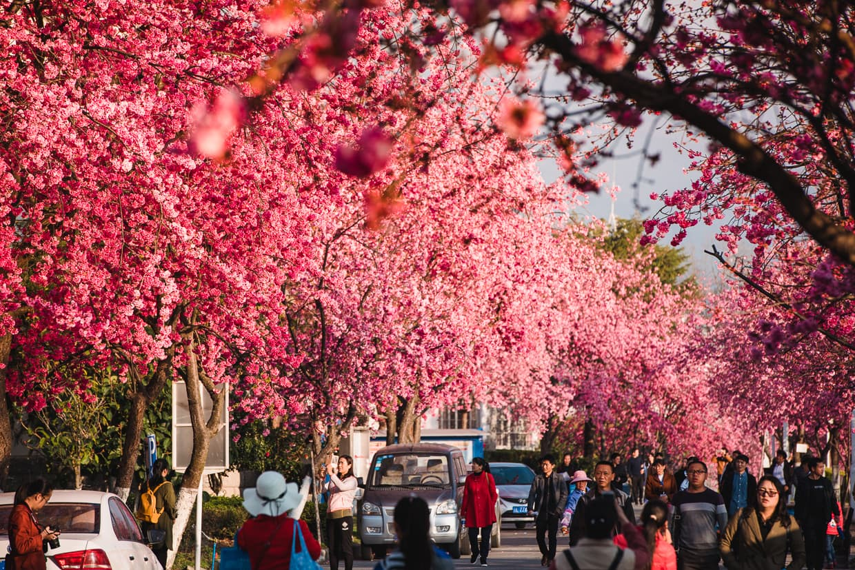 A street lined with Cherry Blossoms at Dali University in China.