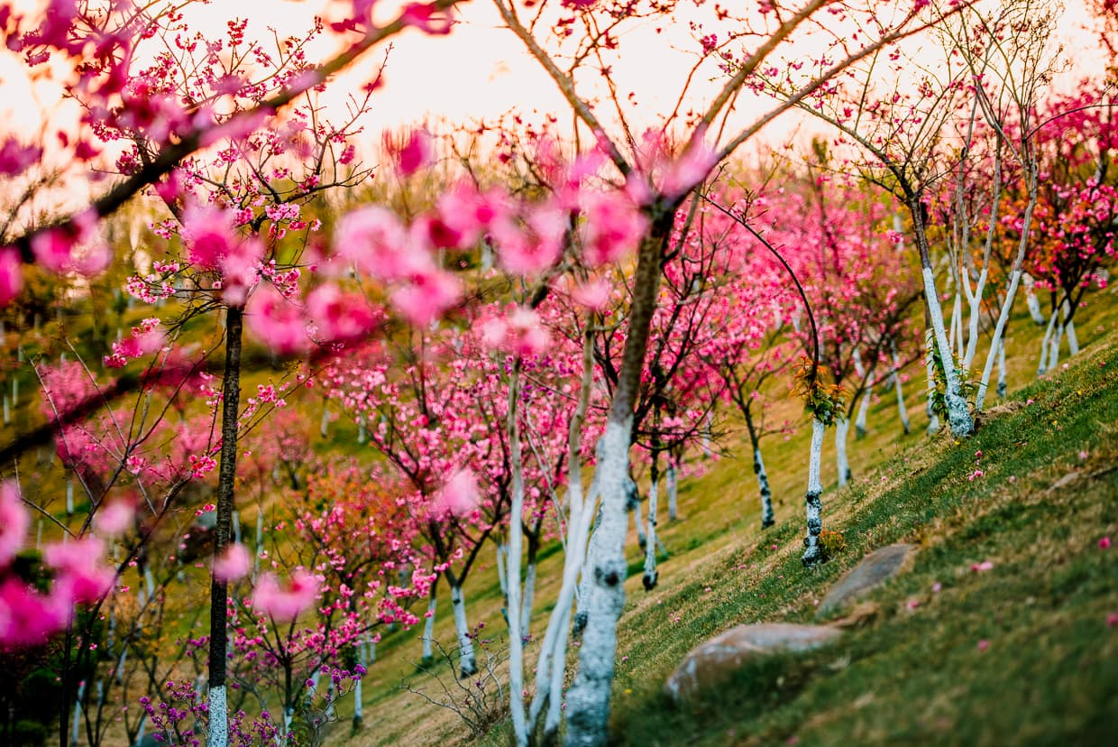 A hillside in Dali China with Cherry Blossoms
