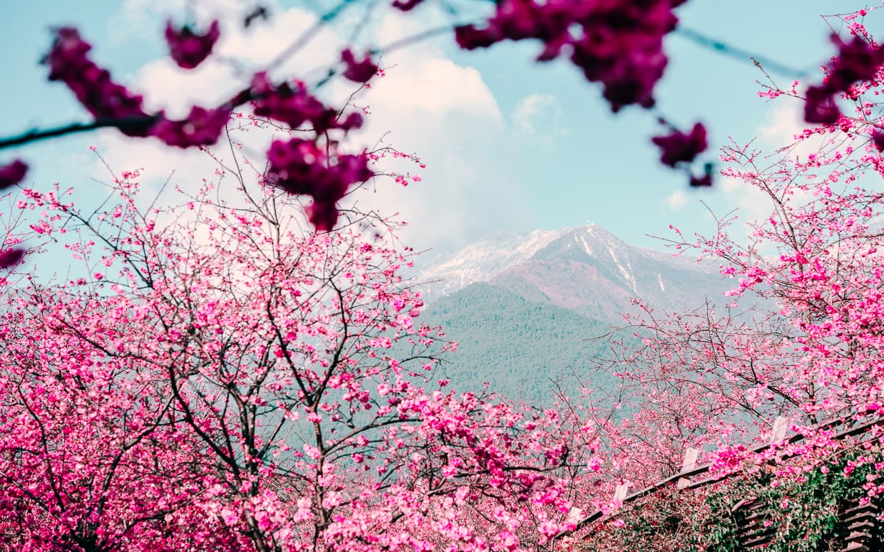 The Cangshan Mountains with Cherry Blossoms in the foreground.