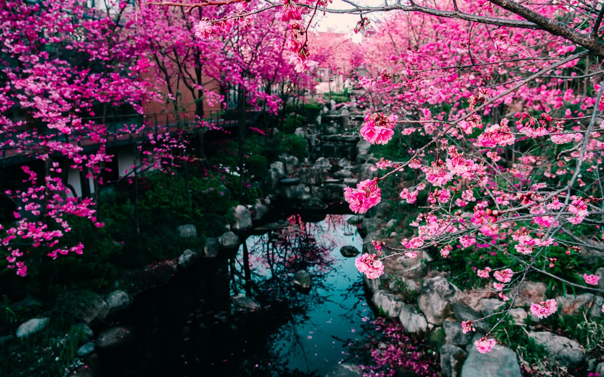 The Cherry Blossom Valley of Dali, China. Taken from a bridge.