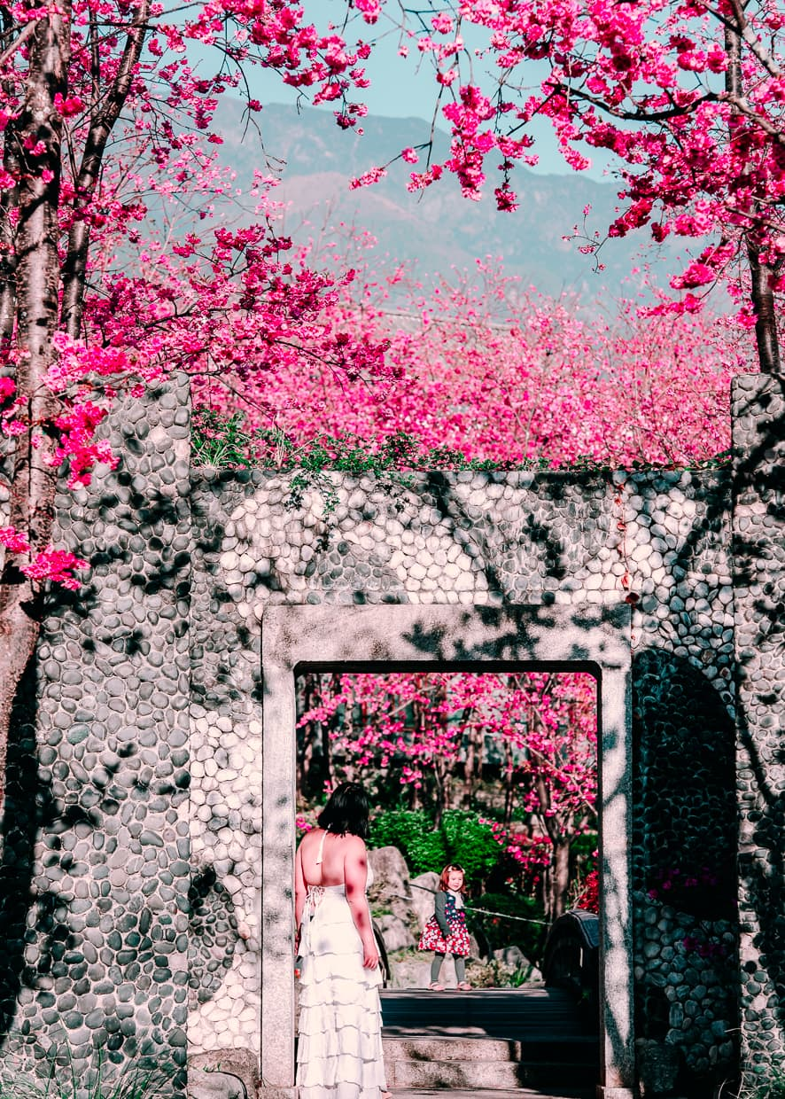 A doorway in a stone wall surrounded by cherry blossoms in Dali, China.