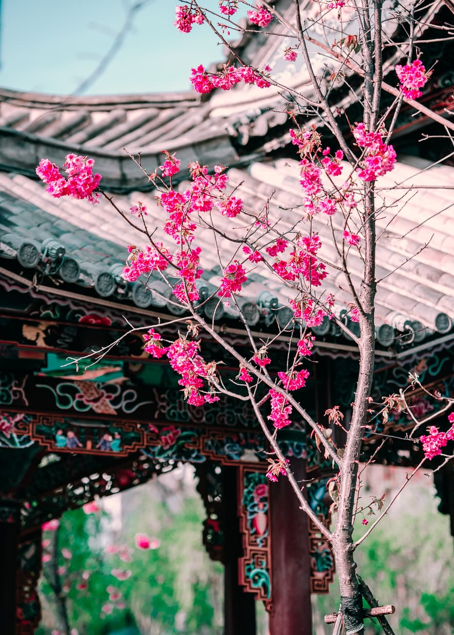 Cherry blossoms in front of an Asian style covered bridge.