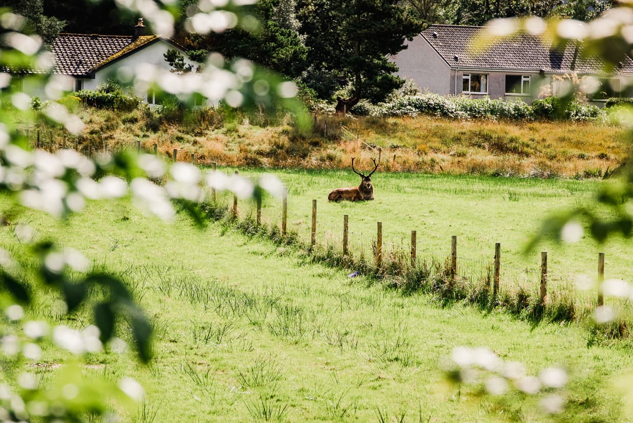 A domesticated deer near Invercoe Caravan and Camping Park.