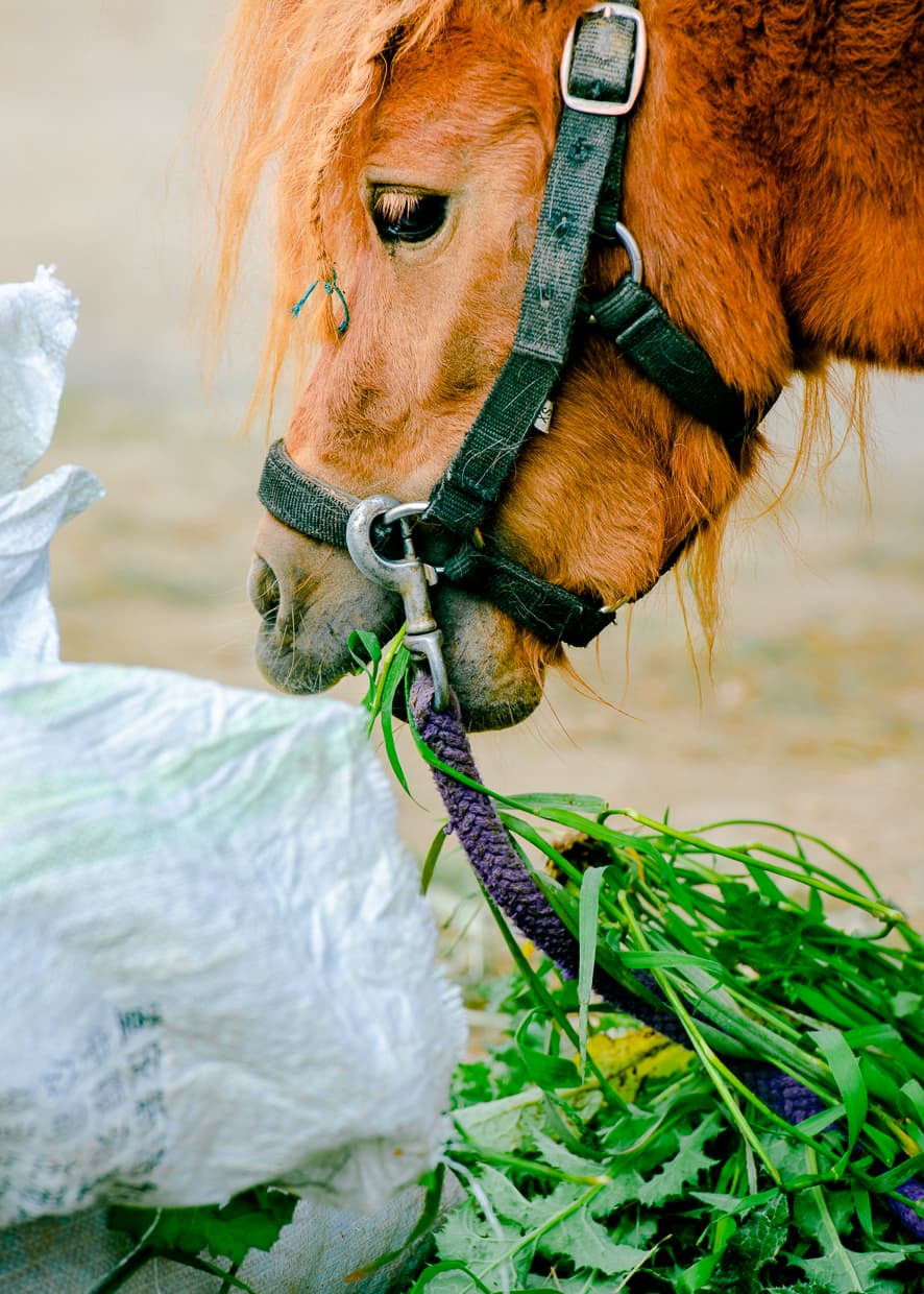 A pony in Dali, China