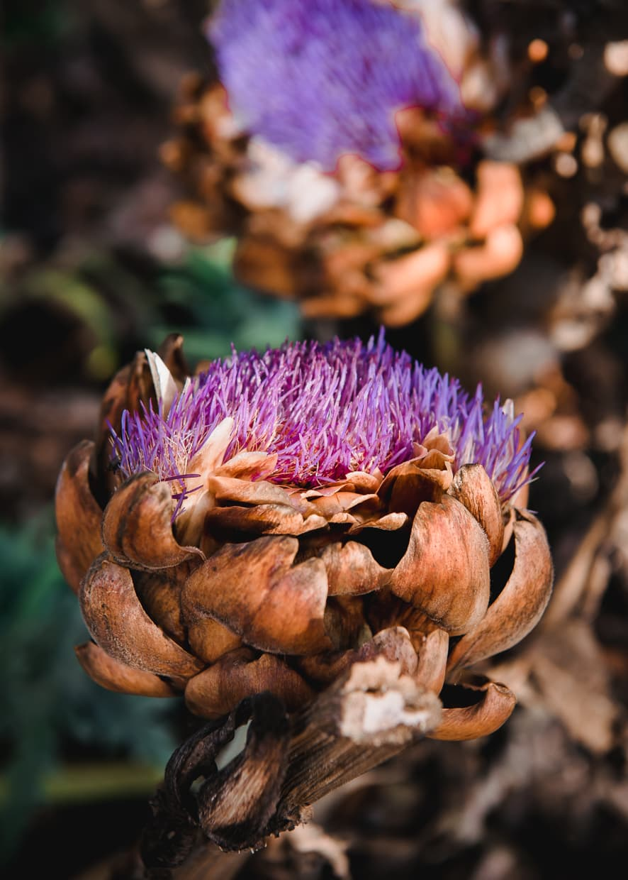 Artichoke Flowers on Rainbow Farm.