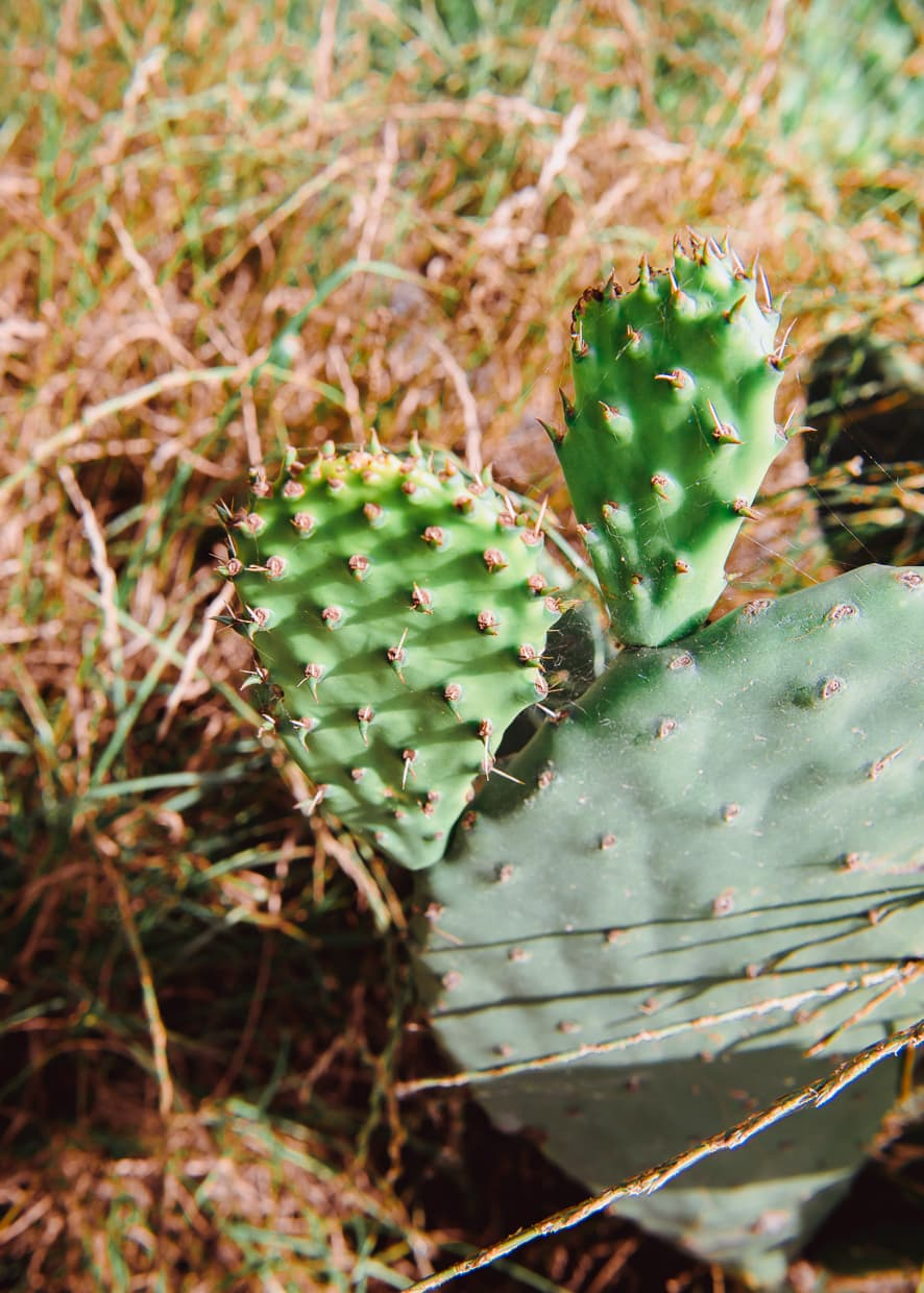 A prickly pear cactus in Dali, China on Rainbow Farm.