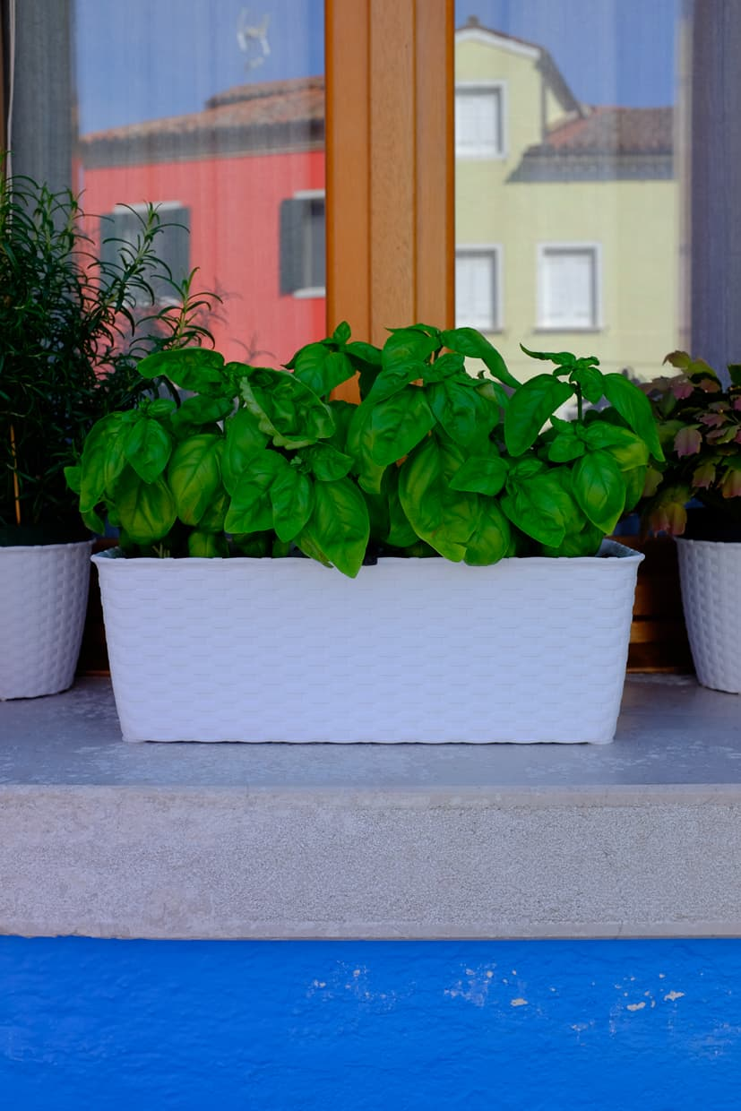 A colorful window box with basil on Burano near Venice.