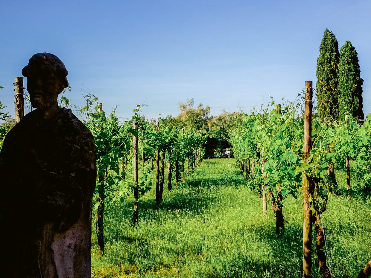 A vineyard on the island of Torcello near Venice, Italy.