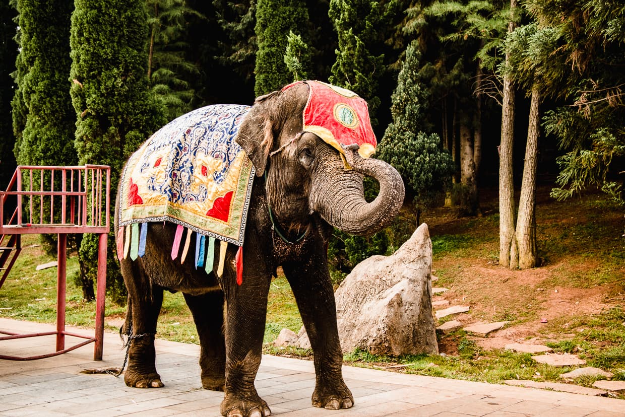 An Elephant chained up at the Yunnan Ethnic Village in Yunnan China.