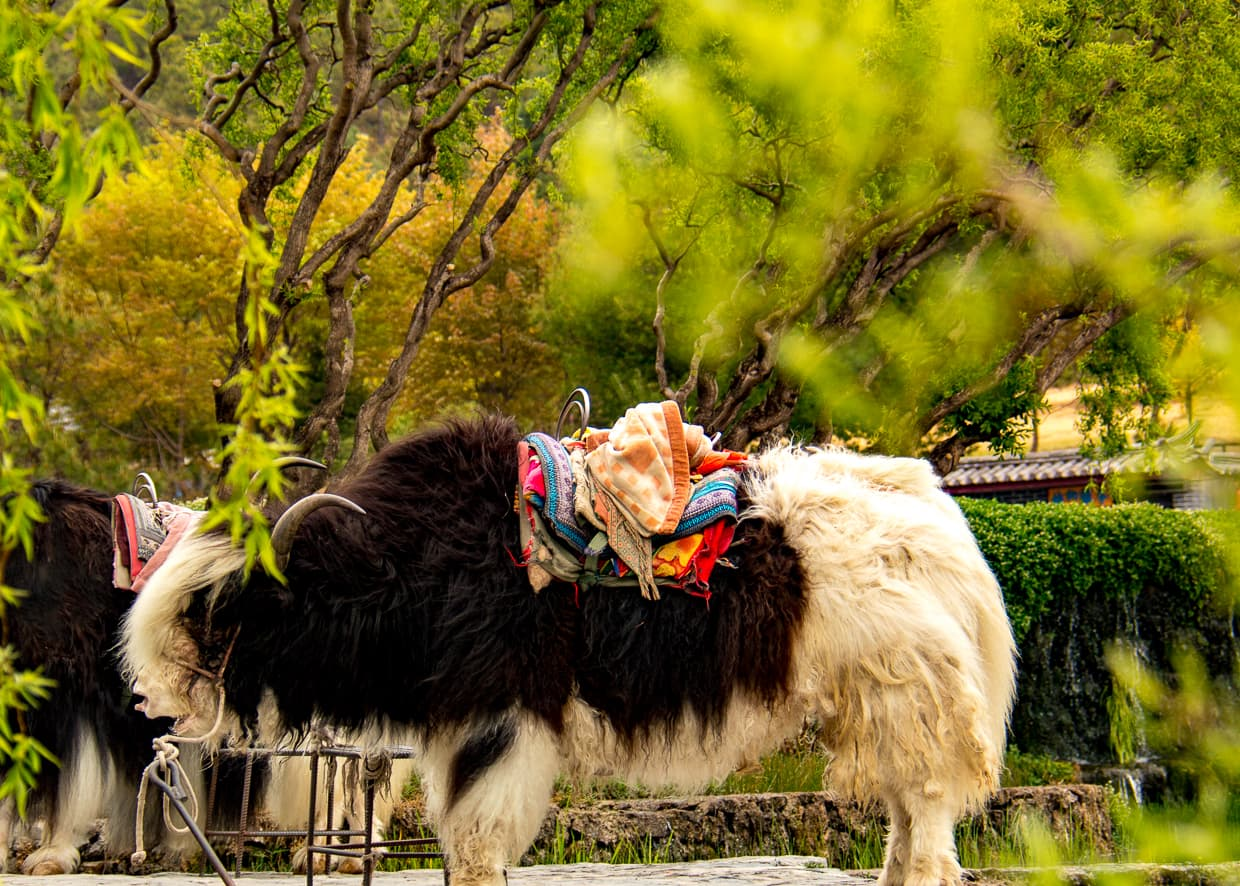 Lijiang, China yak animal abuse.