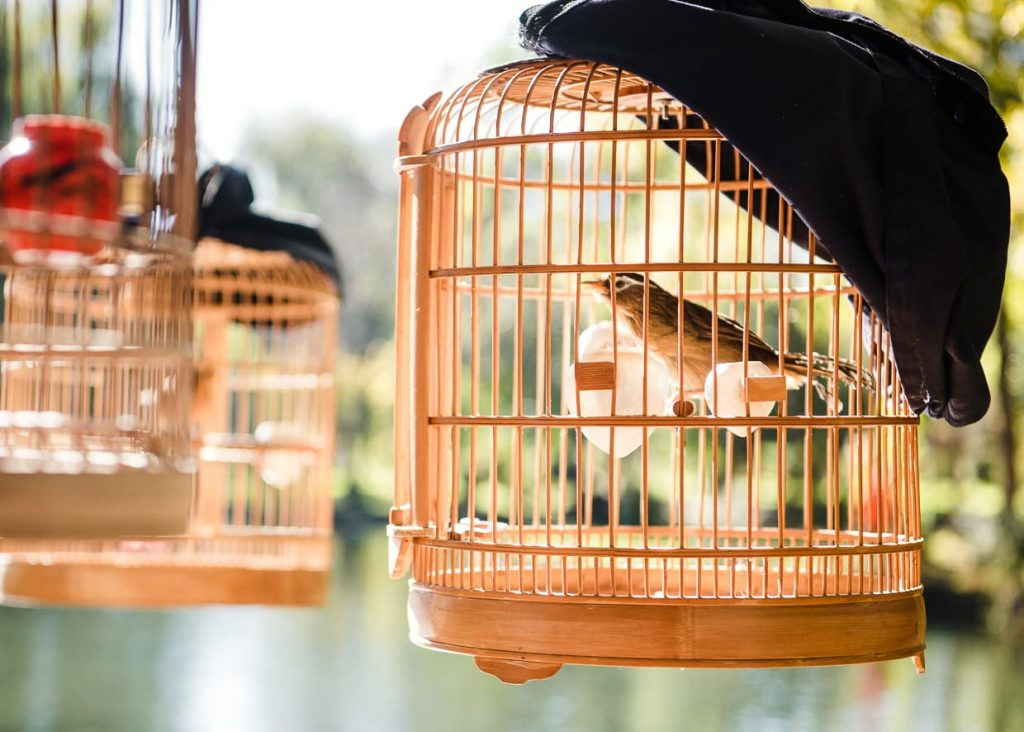 A Huamei songbird in a cage in Lijiang, China.