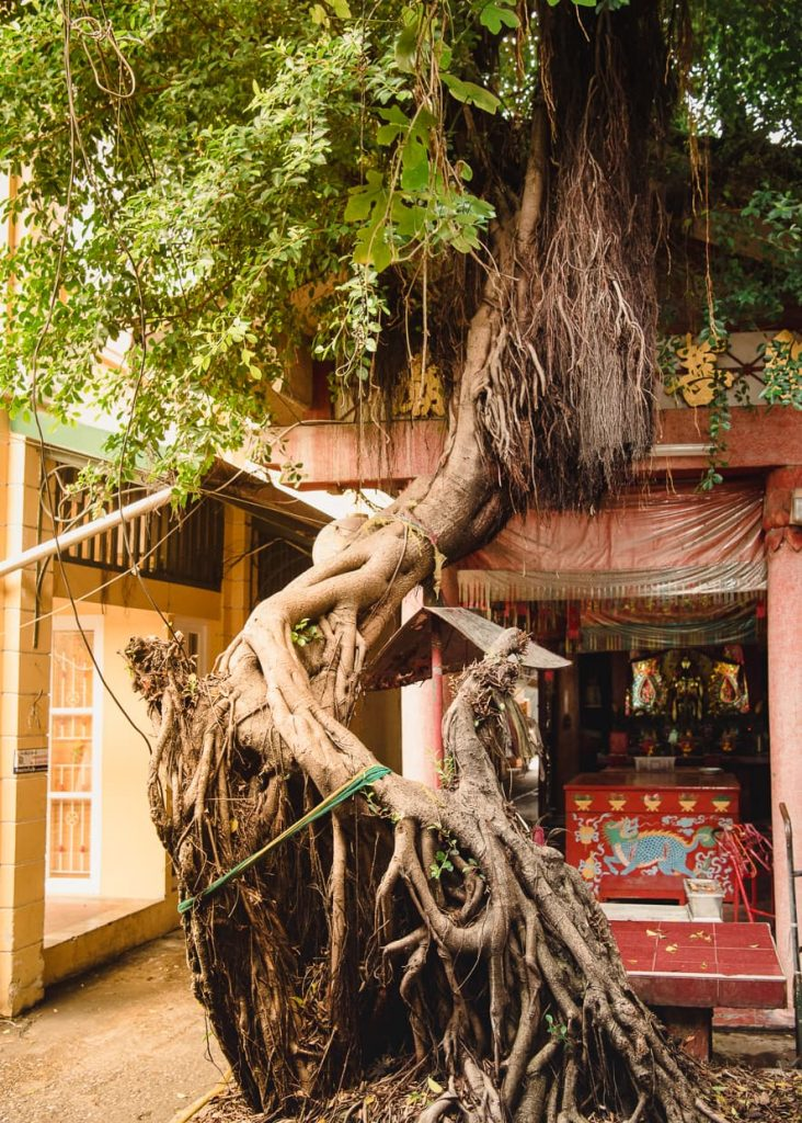 A banyan tree in a Bangkok, Thailand alley.