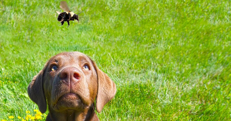 chocolate labrador puppy playing with a bumblebee