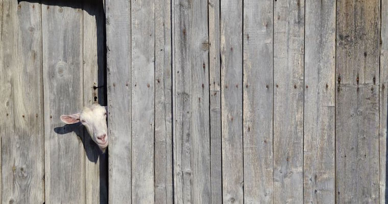 curious sheep peeking through wooden fence
