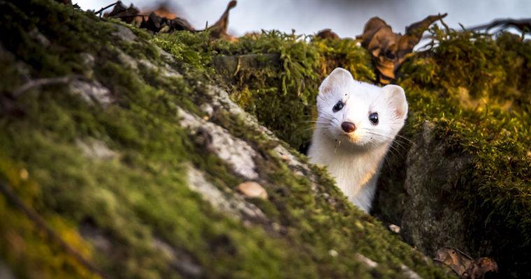 white weasel peeking up from den