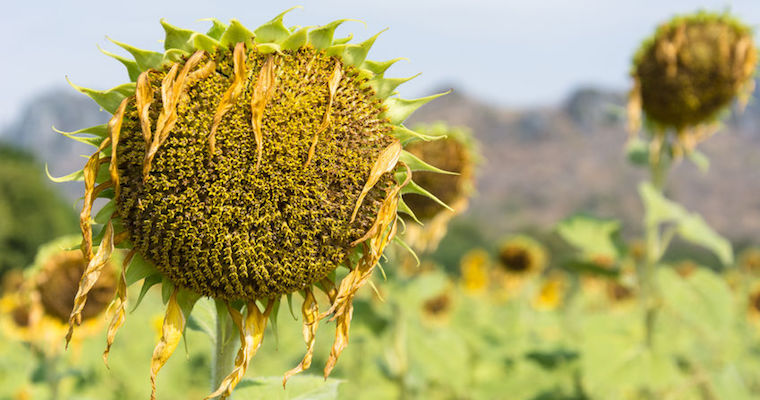 sunflower drooping in a field