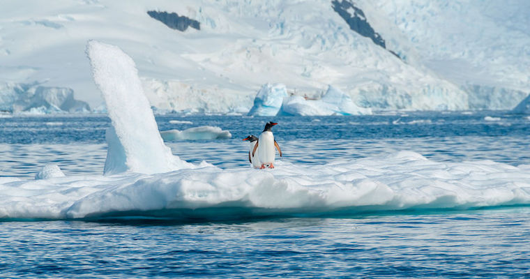 gentoo penguins floating on iceberg