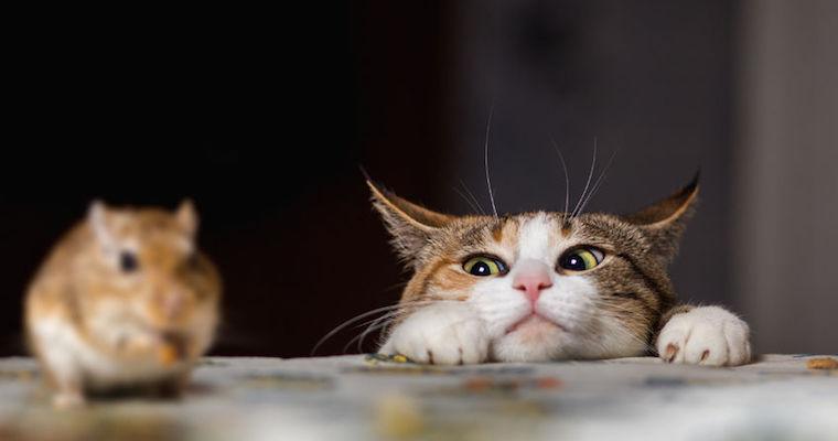 cat hunting a gerbil