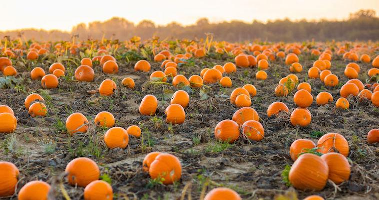 pumpkin patch at dusk