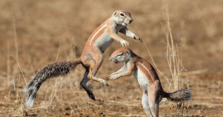 squirrels fighting in a field