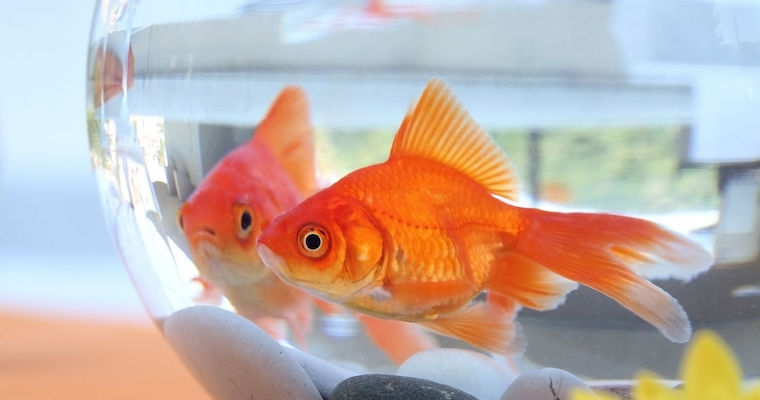 two orange goldfish in clear glass bowl