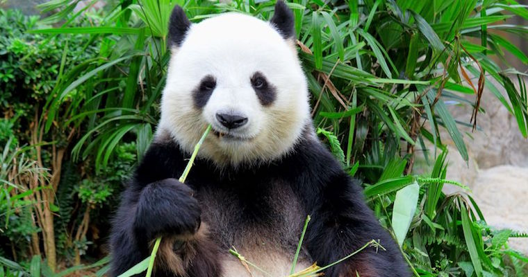 giant panda eating bamboo shoots