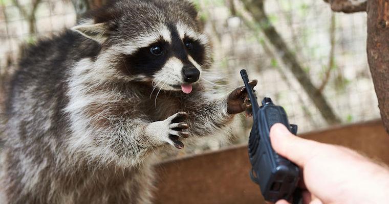 raccoon stealing radio