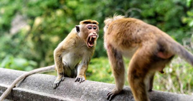 angry bonnet monkey