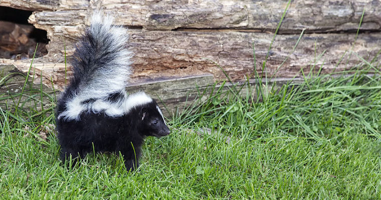 skunk first day