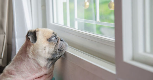 pug dog looking out window