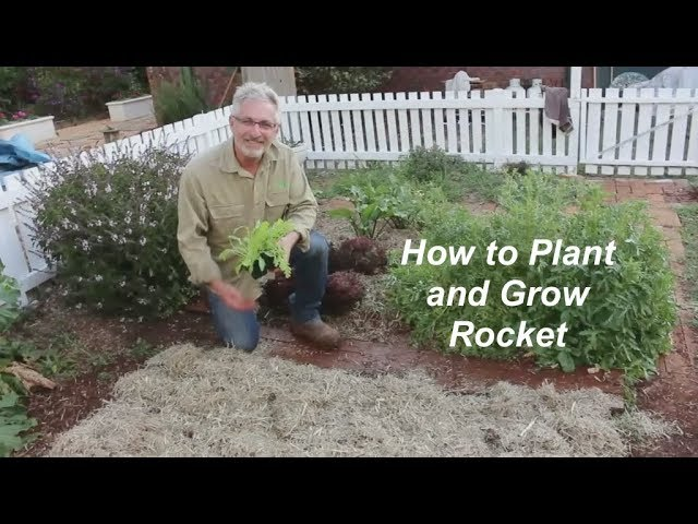 How to Plant and Grow Rocket