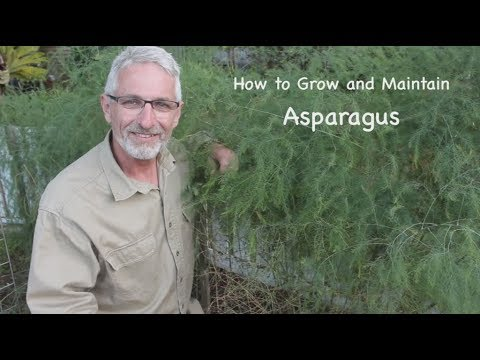 How to Grow and Maintain Asparagus