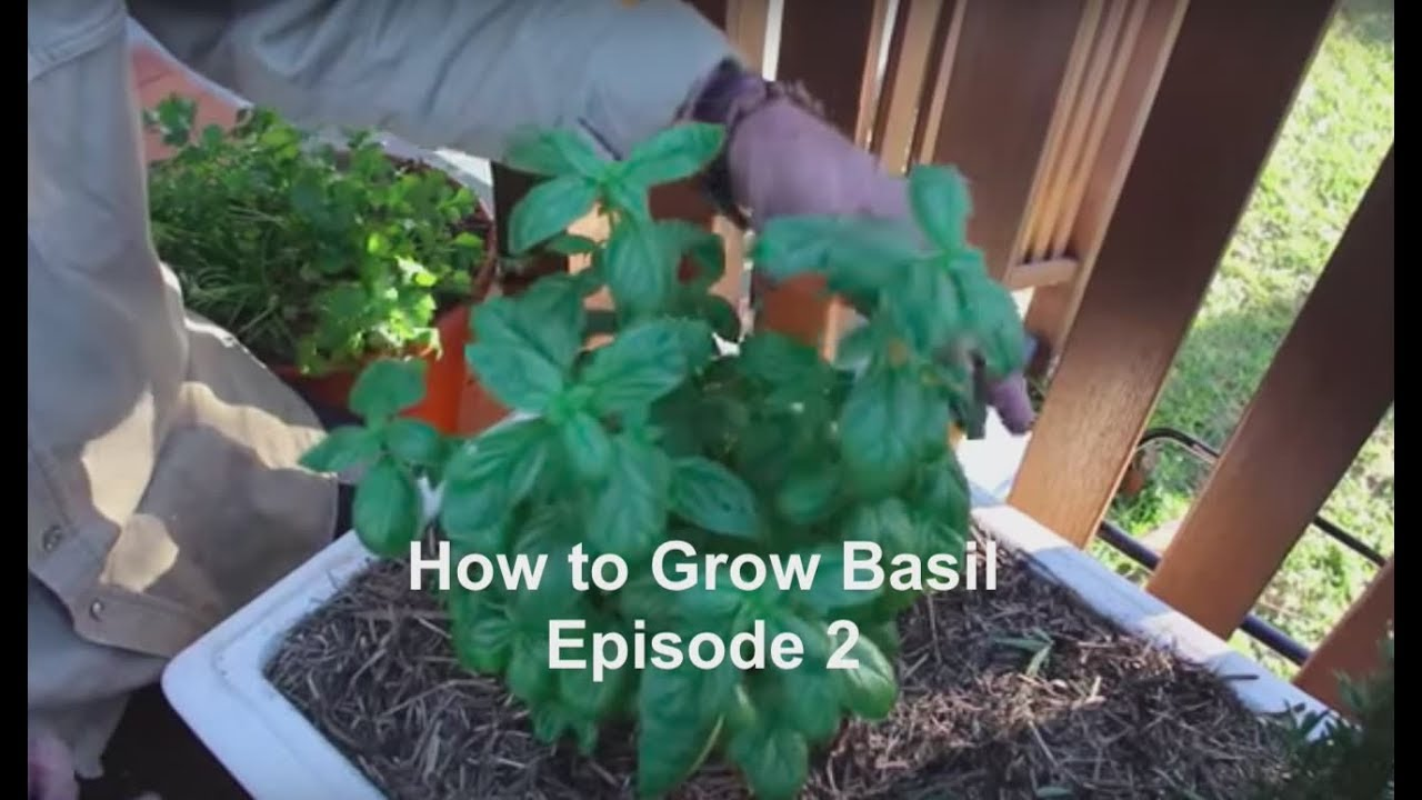 Looking After Basil Plants - Episode 2