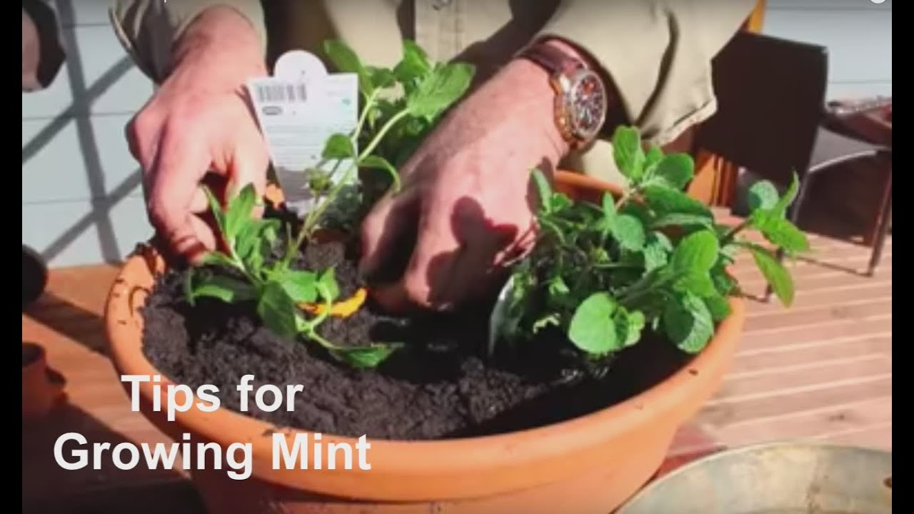 How to Grow Mint Tips