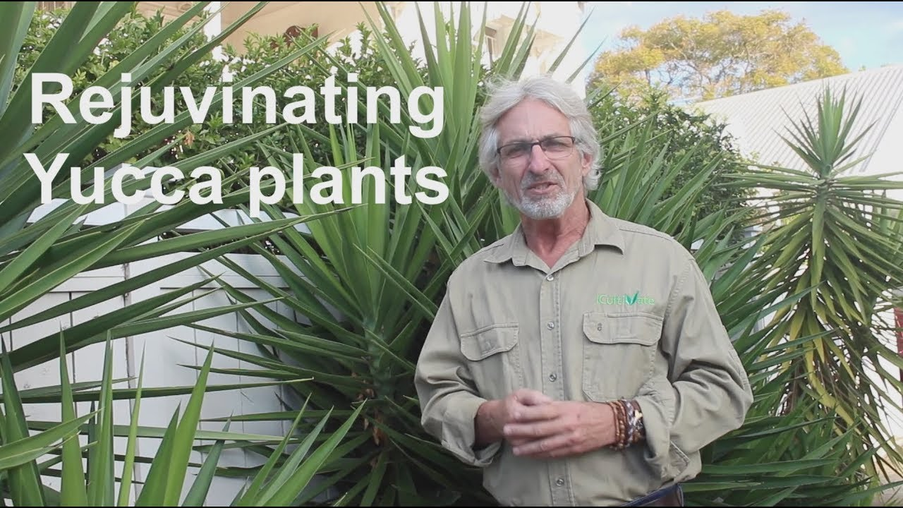 How to Rejuvenate Yucca Plants