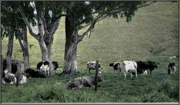 Dairy Cows grazing in West Marin, c.1937 <span>©  </span>