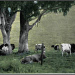 Dairy Cows grazing in West Marin, c.1937
