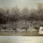 Orange grove in San Rafael, mid 1880s. <span>© Anne T. Kent Room </span>