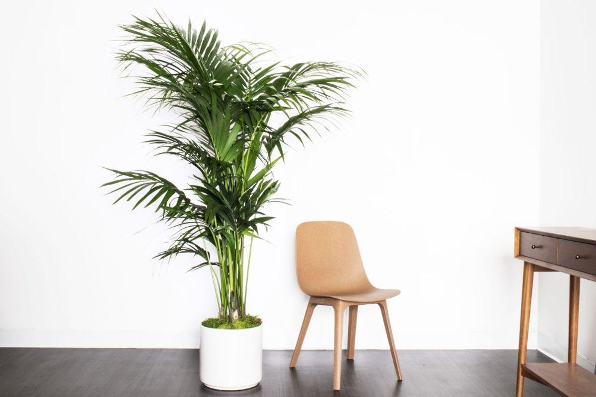 Livraison de grandes plantes vertes élégantes d'au moins 1.50m de hauteur