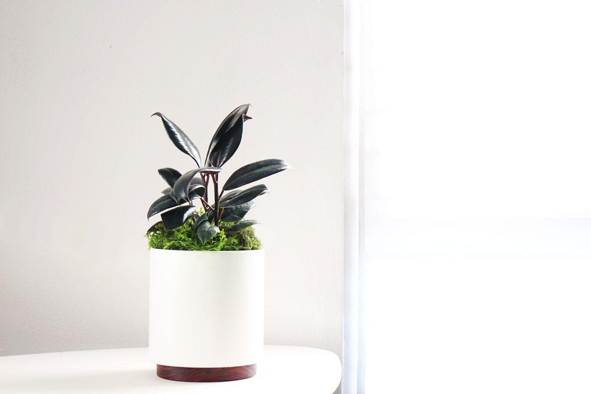 Rubber Plant - Rubber Plant