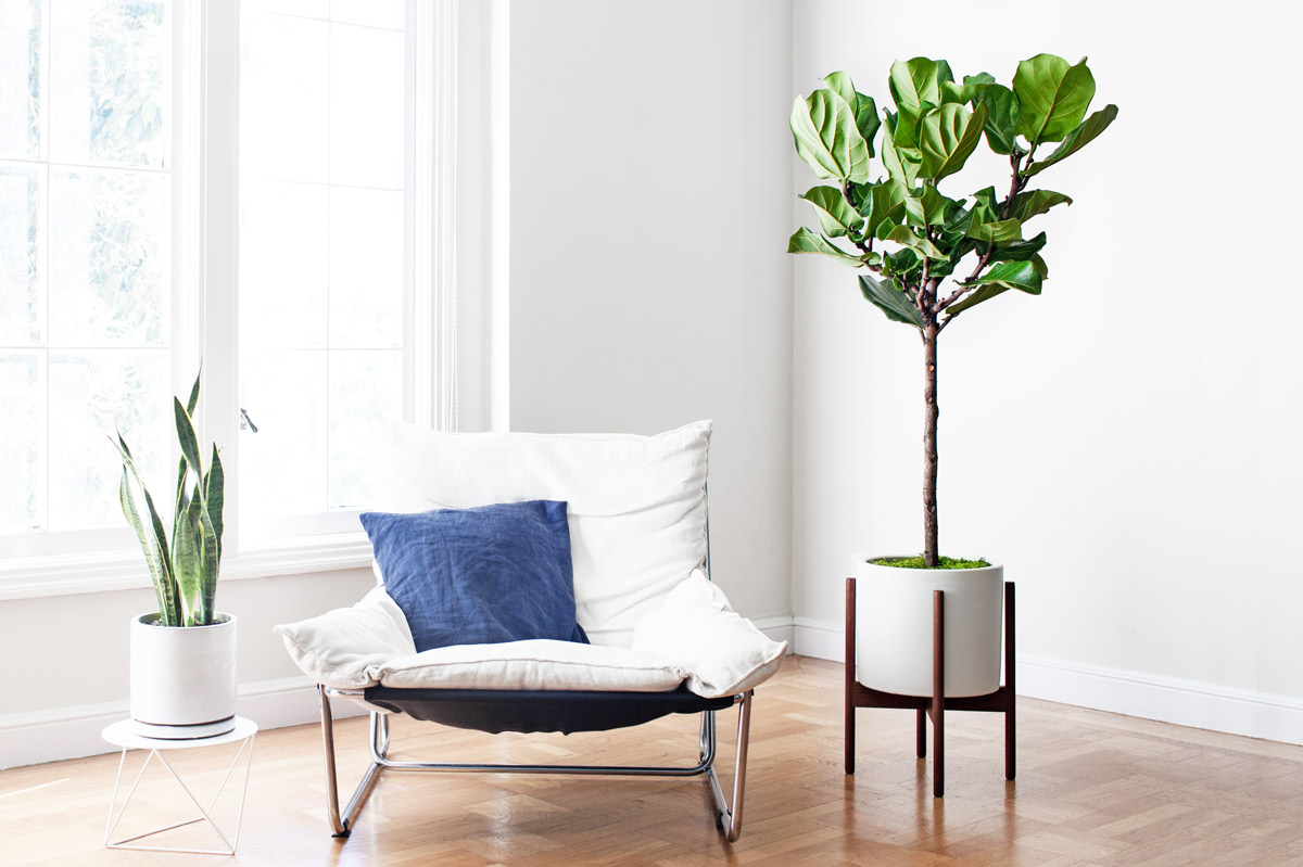 Fiddle Leaf Fig Tree - Fiddle Leaf Fig Tree