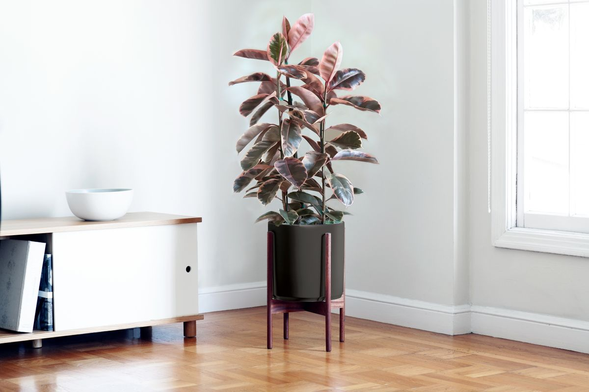 Pink Rubber Tree - Pink Rubber Tree