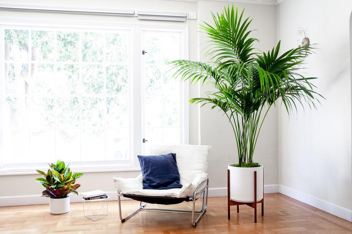 Kentia Palm - Kentia Palm