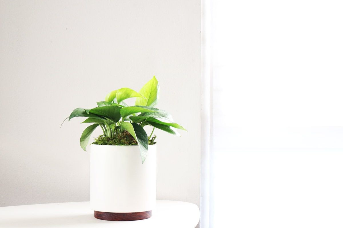 Jade Pothos - Jade Pothos