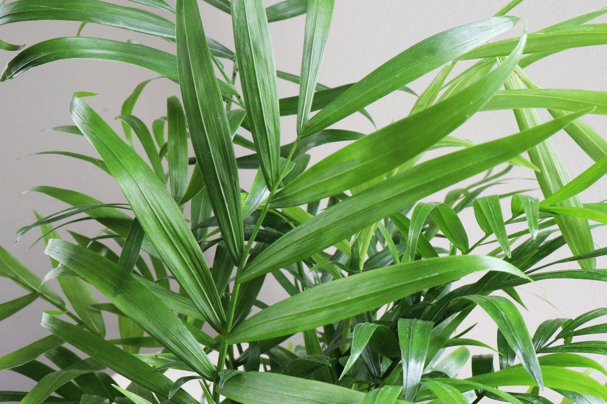 Parlor Palm - Parlor Palm