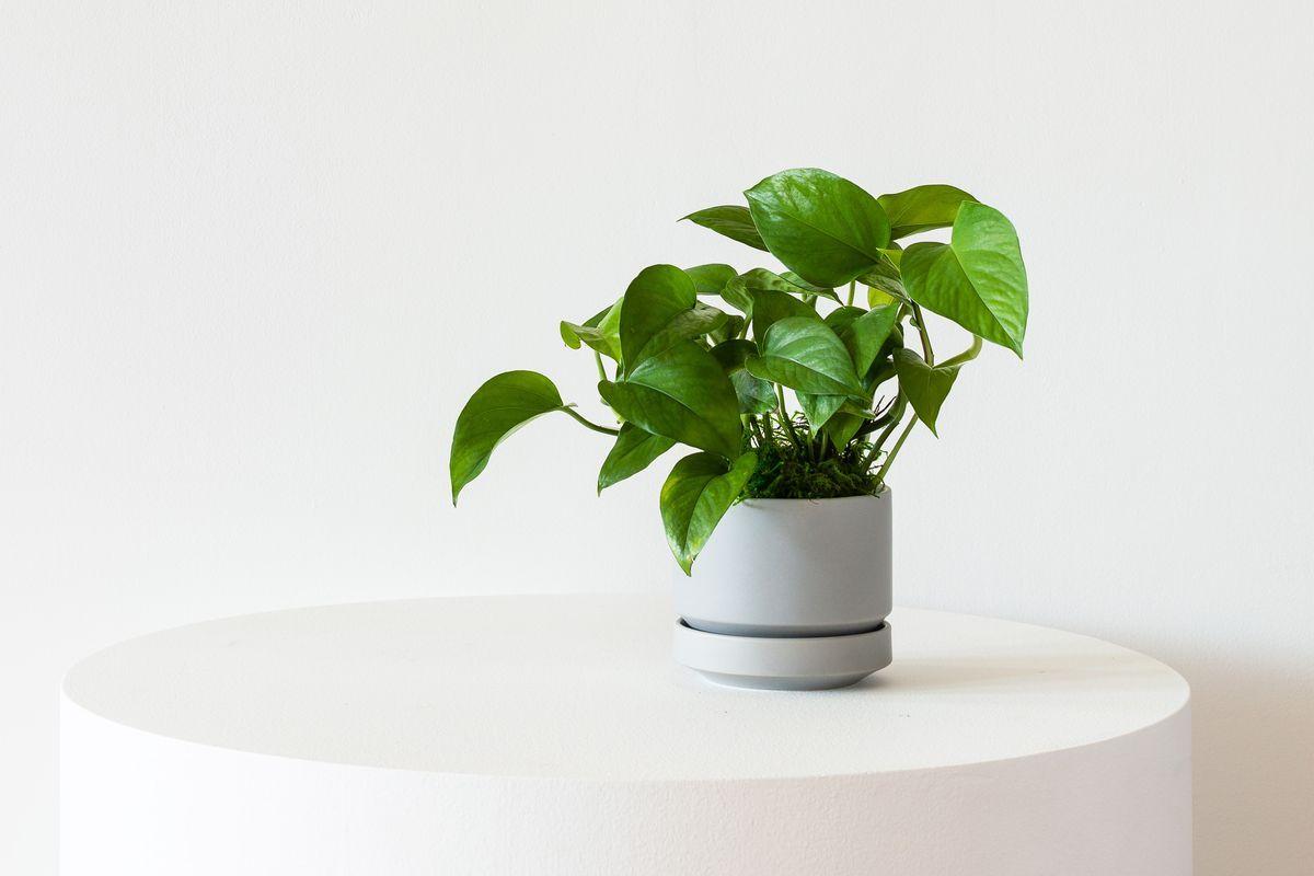 Jade Pothos - Scandinavian - Jade Pothos - Scandinavian
