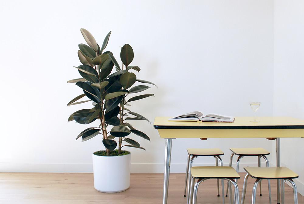 Grand Ficus Elastica