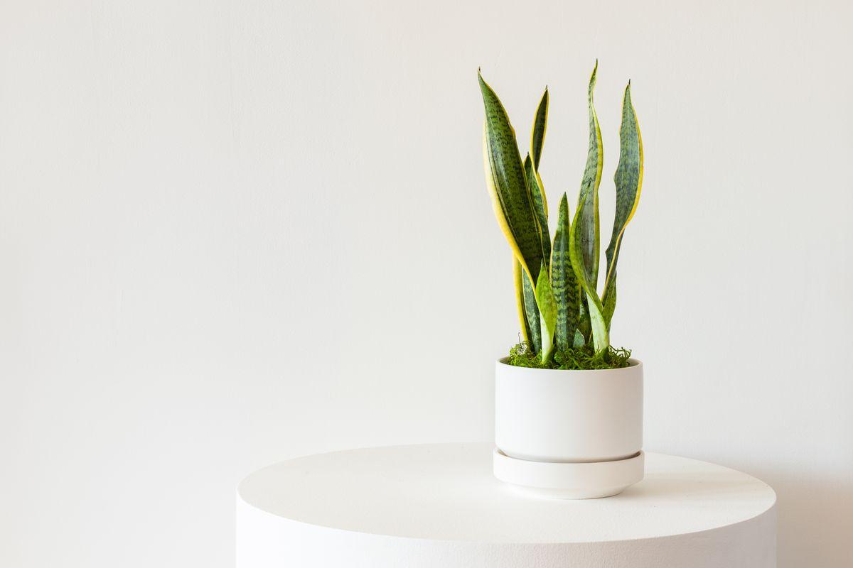Snake Plant - Scandinavian - Snake Plant - Scandinavian