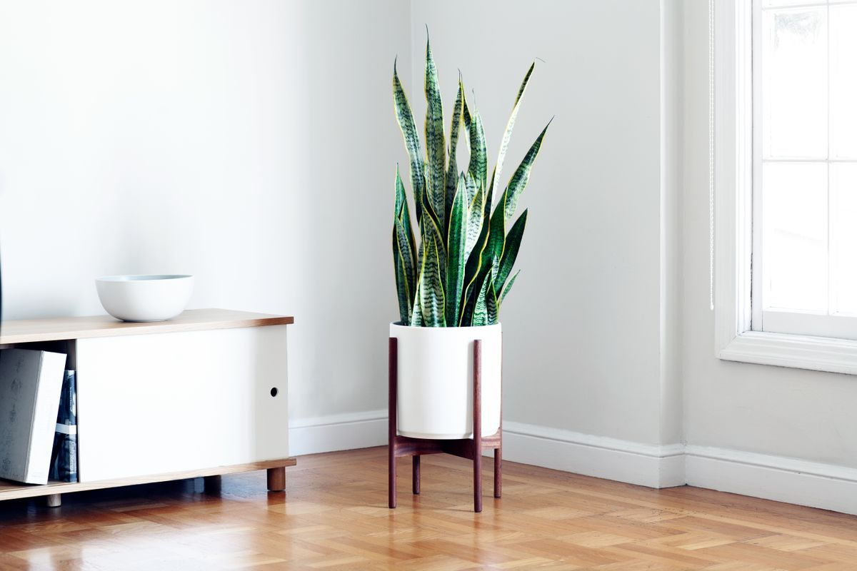 "Larger accent plants, 3 to 5 feet tall, elegant and stylish. Pot size: 10"" to 12"" diameter"